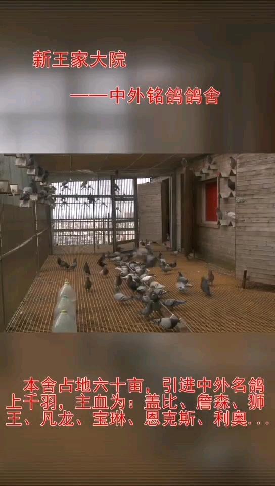 新王家大院占地60亩 引进名鸽上千羽